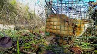 getlinkyoutube.com-Bow Hunting And Predator Removal: New Trapping Tips & Surprises