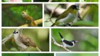 Suara pikat semua jenis burung terbaru width=