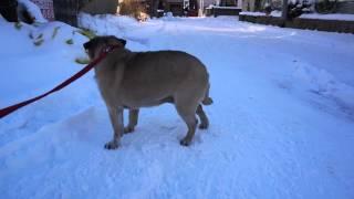 getlinkyoutube.com-冬の散歩!寒すぎて動けなくなるパグ!Pug