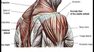 getlinkyoutube.com-BodyBuilding Anatomy SHOULDERS