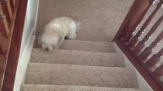 The Walk of Shame Guilty Dog Milly the Cavachon