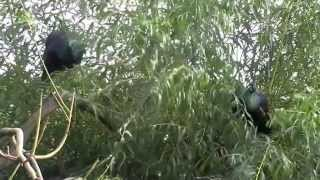 getlinkyoutube.com-Kicau Mania - Jenis Burung Merak Hijau