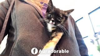 Aura the cleft palate kitten gets a hoodie ride!  TinyKittens.com