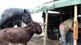 getlinkyoutube.com-Sistemare la tettoia - asino e cavallo non sono un grande aiuto
