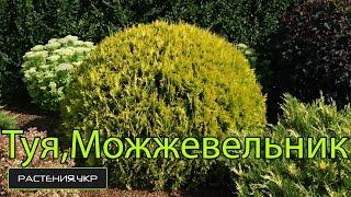 getlinkyoutube.com-Почему желтеют Туя, Можжевельник, Кипарисовик в домашних условиях ? / хвойные растения