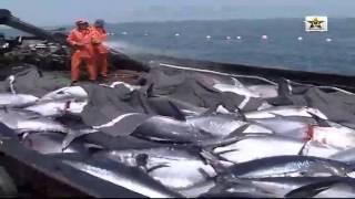 إصطياد سمك الثونة الكبير في الشواطئ المغربية