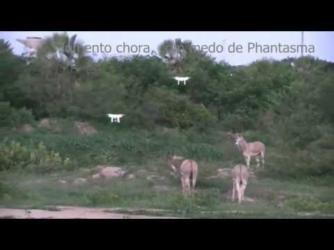 JUMENTO CHORA, COM MEDO DE PHANTASMA