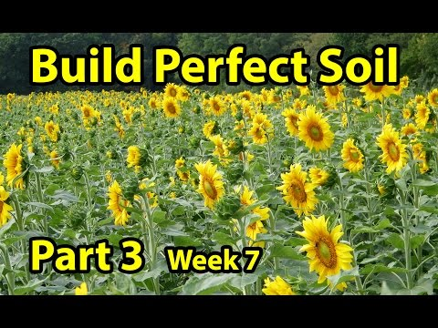 10,000 Sunflowers Blooming. HOW to BUILD, EASY, CHEAP, Healthy Organic Garden Soil S.F & W.Rye Mix 3