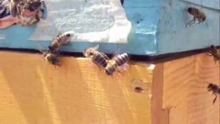 getlinkyoutube.com-Λεηλασία Μελισσών