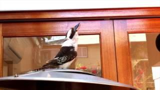 getlinkyoutube.com-Impressive Kookaburra call