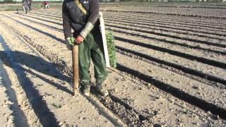 El cultivo del Brocoli - Sakata Seed Iberica