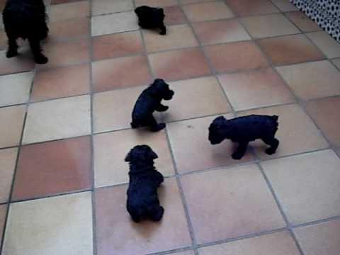 cachorros schnauzer jugando en el patio