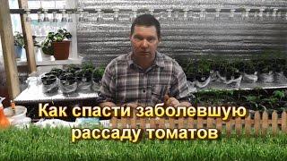 Как спасти заболевшую рассаду томатов