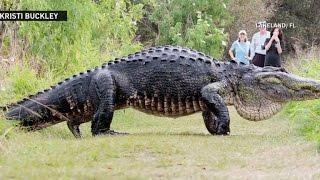 Massive alligator spotted in Central Florida