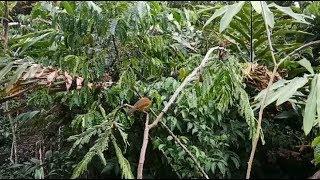 Pikat burung kolibri terbaru menggunakan mp3 yang datang banyak banget 2018