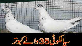 35 wala kabootar width=