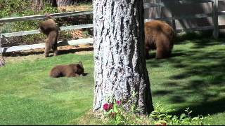 Bear charges Tahoe Men