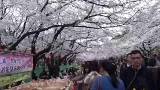 hanami tokyo 2015 Ueno Sakura Matsuri
