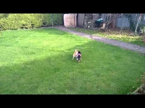 Watch the Chihuahuas Playing in the Garden 2 video