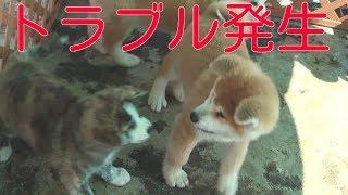 getlinkyoutube.com-秋田犬 かわいい子犬たち けんか始まる