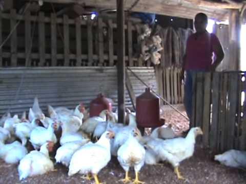 Producción sostenible de pollo de engorda y gallina ponedora