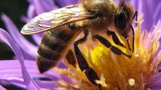 getlinkyoutube.com-Селекция пчел Фильм Германия
