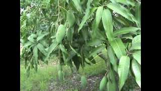 getlinkyoutube.com-การทำมะม่วงนออกฤดู1 Mango Off Season