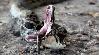 getlinkyoutube.com-Python vs Python 01 - Snake Cannibalism