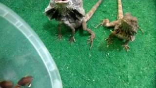 getlinkyoutube.com-My Frilled Dragons