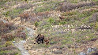 getlinkyoutube.com-Grizzly stalking moose calves, Denali National Park, Alaska