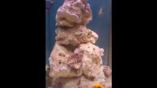 getlinkyoutube.com-How to make live rock. And grow coraline algae.