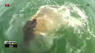 getlinkyoutube.com-ปลาเก๋ายักษ์กินปลาฉลามทั้งตัว