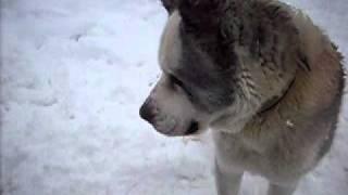 getlinkyoutube.com-Mittelasiatischer Owtscharka im Schnee