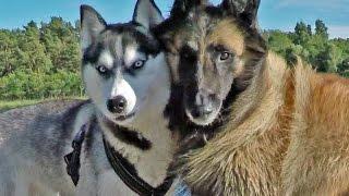 getlinkyoutube.com-Siberian Husky best friend Tervuren  Lihkku & Eddy summer 2015