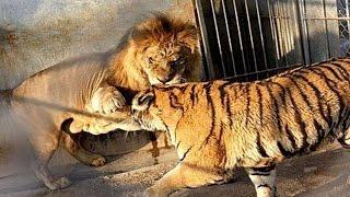 getlinkyoutube.com-Löwe Und Tiger - Parung Bei Tieren   Paarung der Tiere