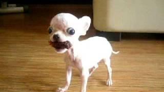 getlinkyoutube.com-Chihuahua Extreme Micro Tiny Teacup Chihuahua Ballerina, extra mini chihuahua