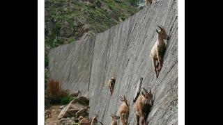 getlinkyoutube.com-Rock Climbing Goats-Mountain Ibexs