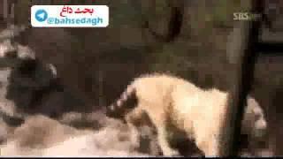 getlinkyoutube.com-۱۸ ژوئیهٔ ۲۰۱۶ جنگ شیر و پلنگ سفید