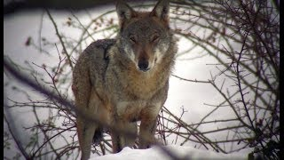 getlinkyoutube.com-Wild Abruzzo: la Regione dei Lupi