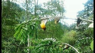 Pikat burung - memikat burung di kebun dapat kutilang mas,kolibri,Mur....