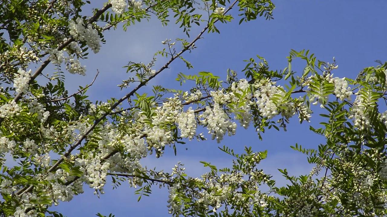 Bagremova paša - pčele na cvetu bagrema