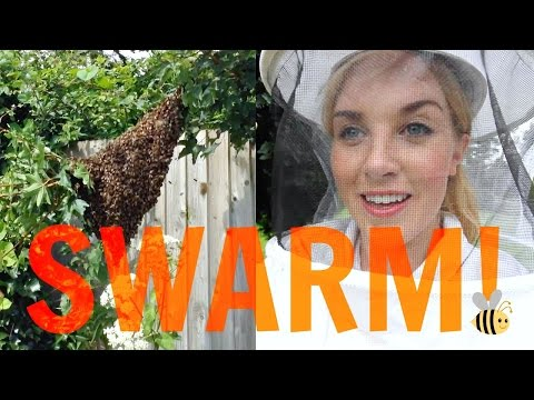 How to capture a SWARM of BEES! | Beekeeping with Maddie #13
