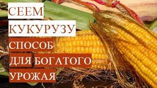 Посадка кукурузы. Проверенный способ для богатого урожая