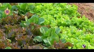 getlinkyoutube.com-เกษตรทำเงิน : ปลูกผักเมืองหนาวในภาคอีสาน รายได้ 2 แสนบาทต่อเดือน