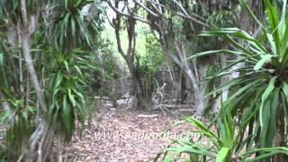 getlinkyoutube.com-ต้นจันทร์ผายักษ์อายุร้อยปีที่เกาะขาม สัตหีบ