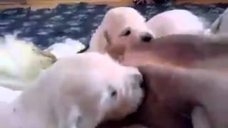 getlinkyoutube.com-Puppies dogs breastfeeding