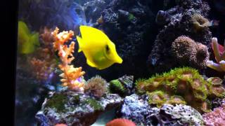 getlinkyoutube.com-54 Gallon Corner Reef Tank 1 year old