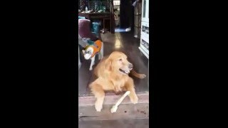 getlinkyoutube.com-[สุนัขแสนรู้] หมาทำงานต้องมีรางวัล ดูความน่ารักของเจ้า มะขวิด กัน