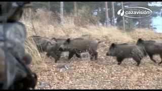 Javalis e caçadores 16
