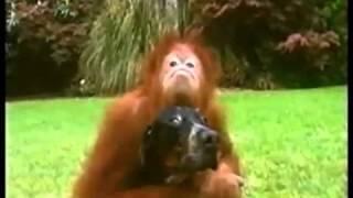 getlinkyoutube.com-Bestest Buddies: Orangutan and Hound Dog (must see!)
